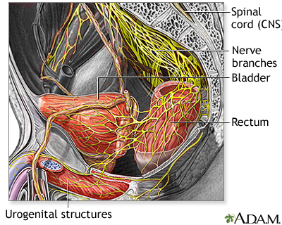 Nerve supply to the pelvis