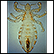 Body louse