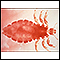 Head louse - female
