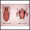 Head louse and pubic louse