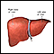 Liver anatomy