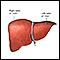 Liver anatomy