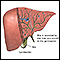 Bile produced in the liver
