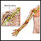 Brachial plexus