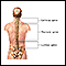 Posterior spinal anatomy